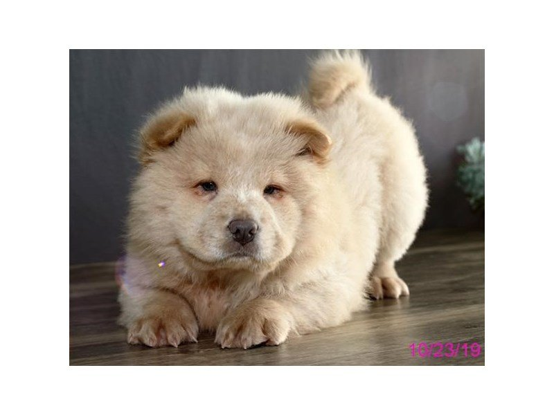 Chow Chow-Female-Light Red-2510349-Petland Carriage Place