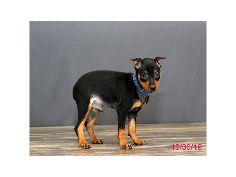 Miniature Pinscher-Male-Black / Tan-2516602-Petland Carriage Place