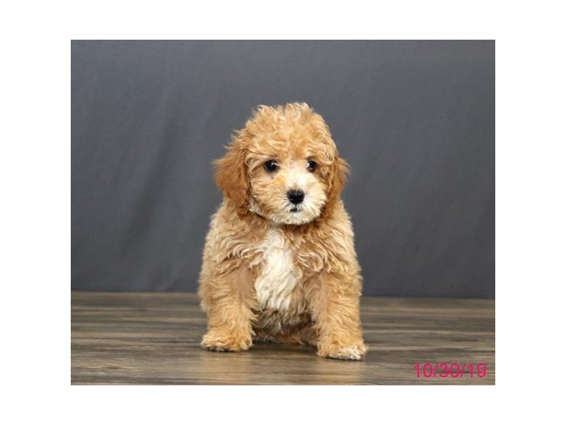 Poodle Puppies Petland Carriage Place