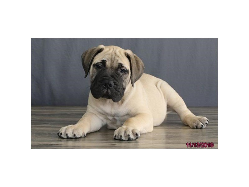 Bullmastiff-Male-Fawn/ Blk msk-2530585-Petland Carriage Place