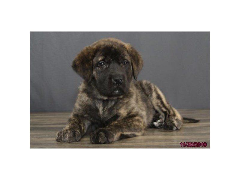 English Mastiff-Male-Brindle-2537409-Petland Carriage Place