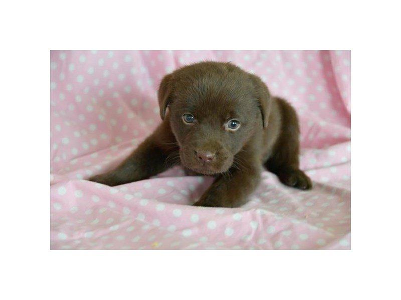 Labrador Retriever-Female-Chocolate-2537426-Petland Carriage Place