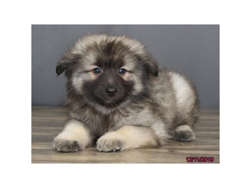 Keeshond-Male-Silver / Black-2561805-Petland Carriage Place