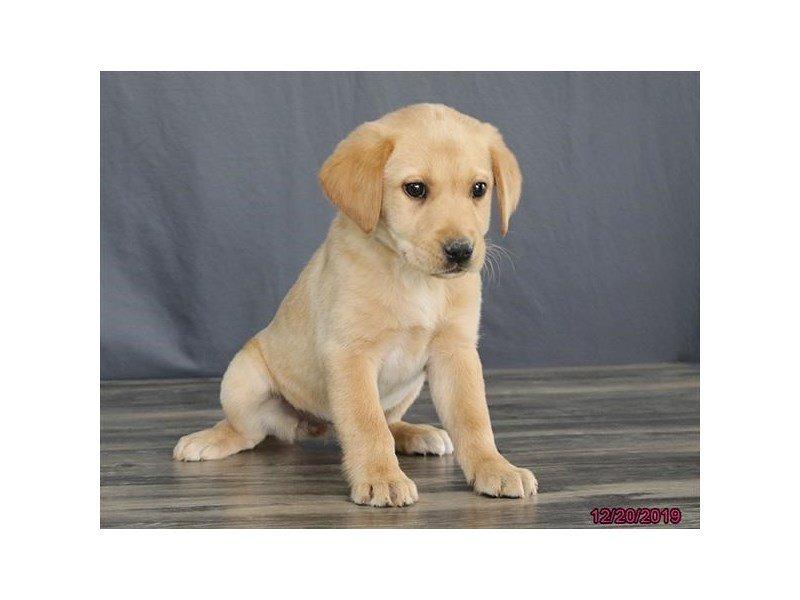 Labrador Retriever-Female-Yellow-2569434-Petland Carriage Place