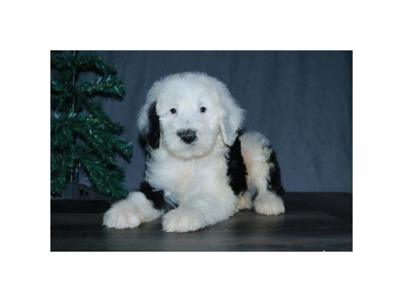 Sheepadoodle-Male-Black / White-2574438-Petland Carriage Place