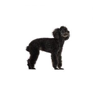 Miniature Poodle Puppies Petland Carriage Place