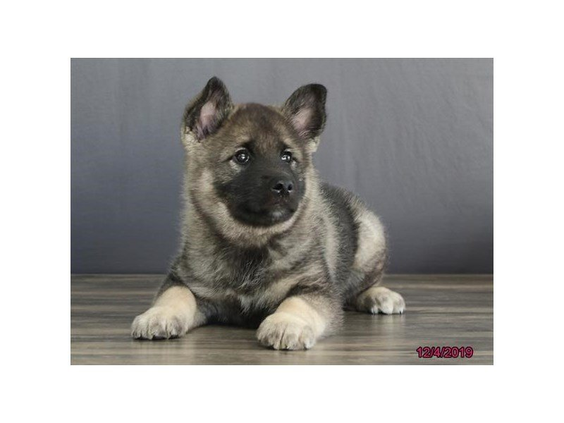 Norwegian Elkhound-Male-Black / Silver-2554391-Petland Carriage Place
