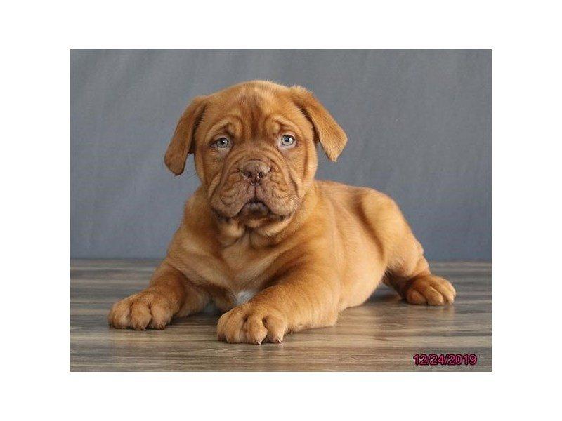Dogue De Bordeaux-Male-Red-2574420-Petland Carriage Place