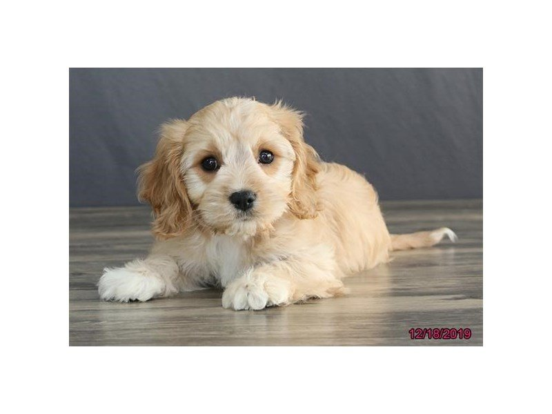 Cavachon-Female-Cream-2574426-Petland Carriage Place