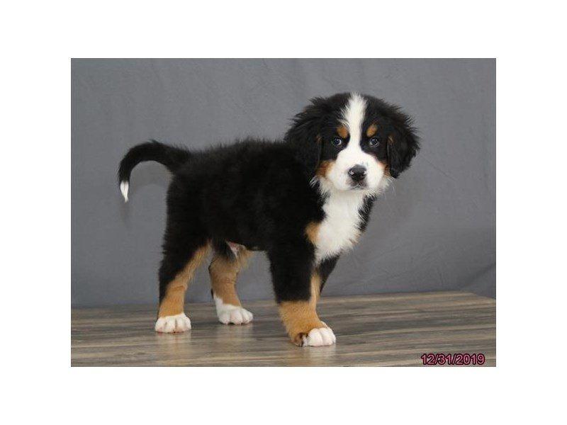 Bernese Mountain Dog-Male-Black Rust / White-2580543-Petland Carriage Place