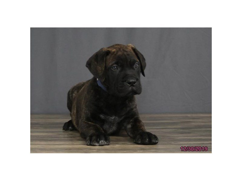 Bullmastiff-Male-Brindle-2580546-Petland Carriage Place