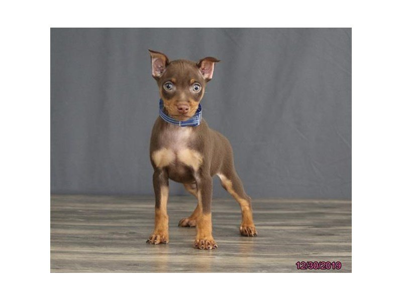 Miniature Pinscher-Male-Chocolate / Tan-2580550-Petland Carriage Place