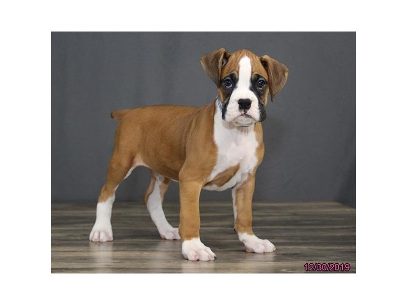 Boxer-Male-Fawn / White-2580551-Petland Carriage Place