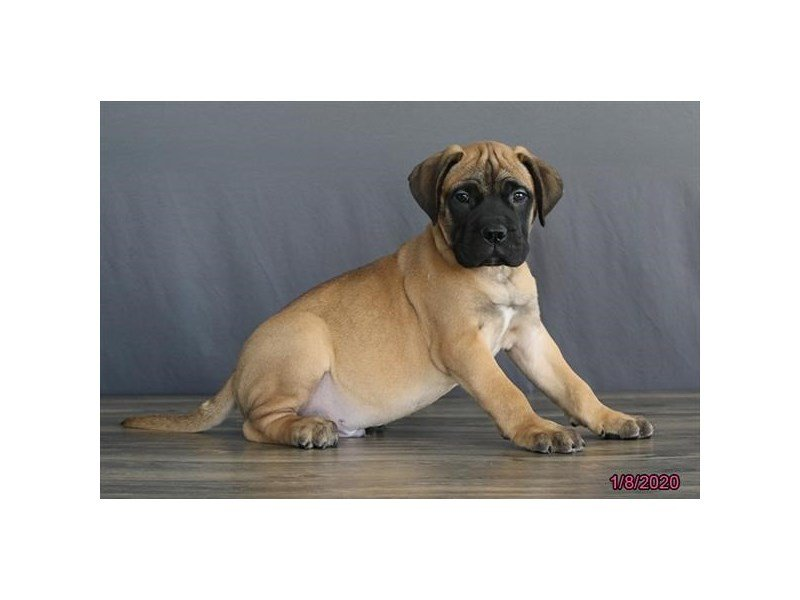 Bullmastiff-Male-Fawn/ Blk msk-2588501-Petland Carriage Place