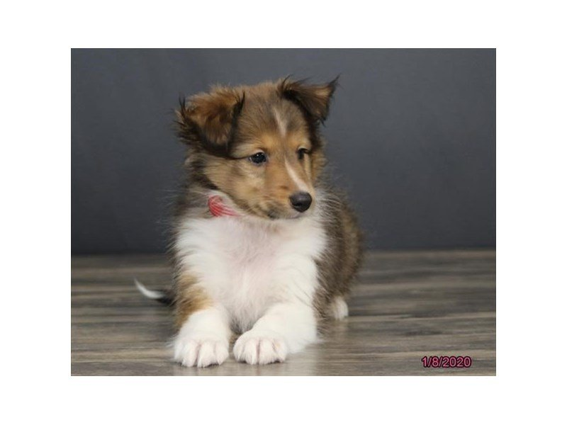Shetland Sheepdog-Female-Sable / White-2588506-Petland Carriage Place