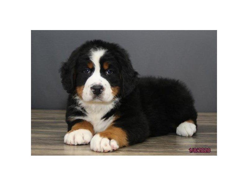 Bernese Mountain Dog-Male-Black Tan / White-2588509-Petland Carriage Place