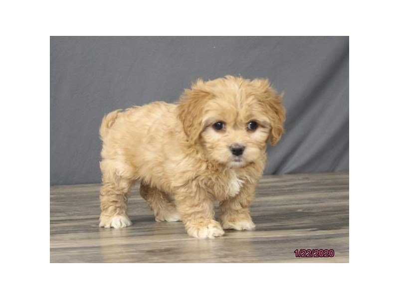 Cavachon-Female-Apricot-2603616-Petland Carriage Place