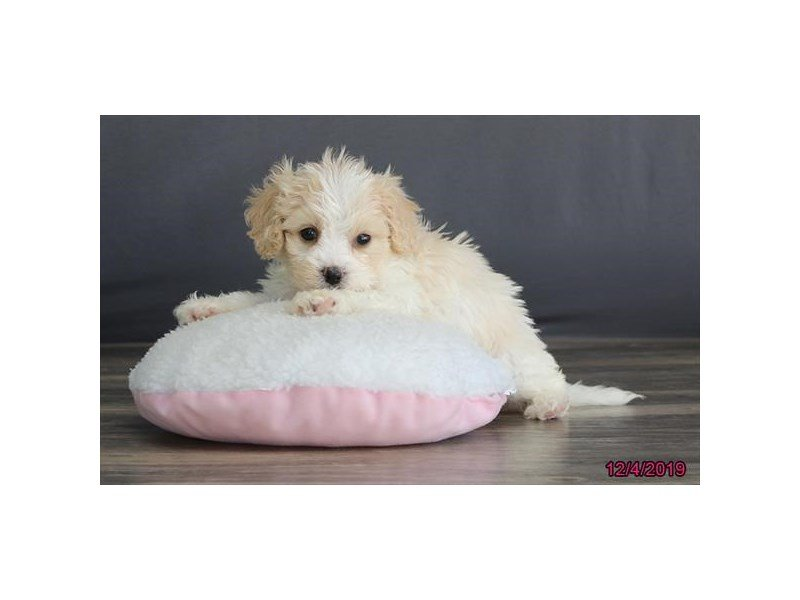 Cavachon-Male-Blenheim-2554388-Petland Carriage Place