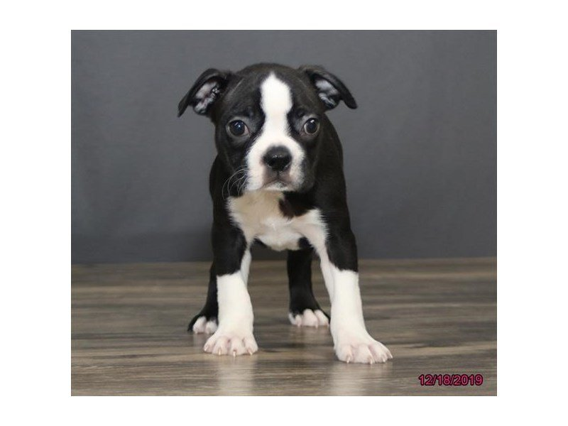 Boston Terrier-Female-Black / White-2569423-Petland Carriage Place