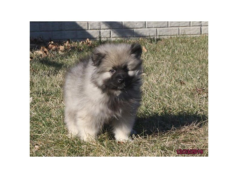 Keeshond-Male-Gray Cream / Black-2574472-Petland Carriage Place