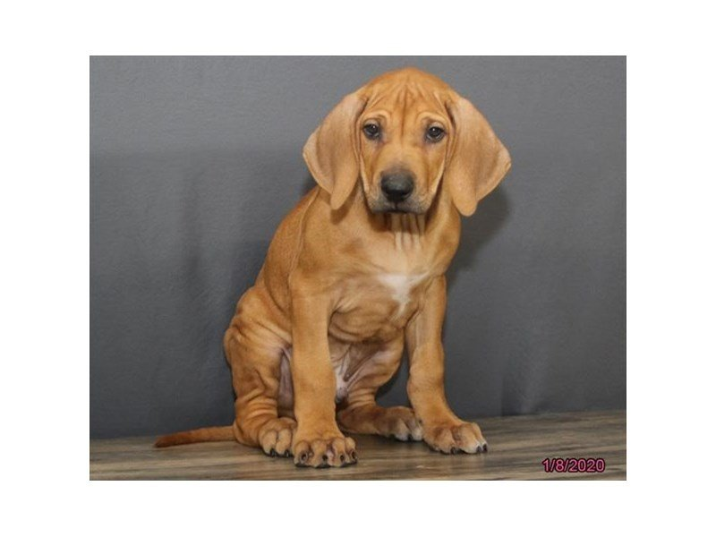 Rhodesian Ridgeback-Male-Red-2588504-Petland Carriage Place