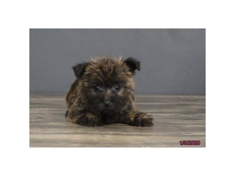 Cairn Terrier-Female-Wheaten-2596316-Petland Carriage Place