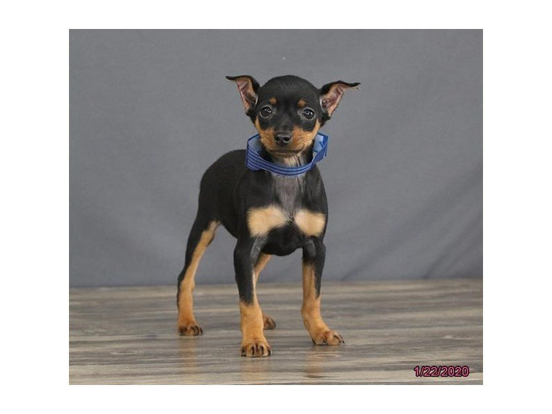 Miniature Pinscher-Female-Black / Rust-2603614-Petland Carriage Place