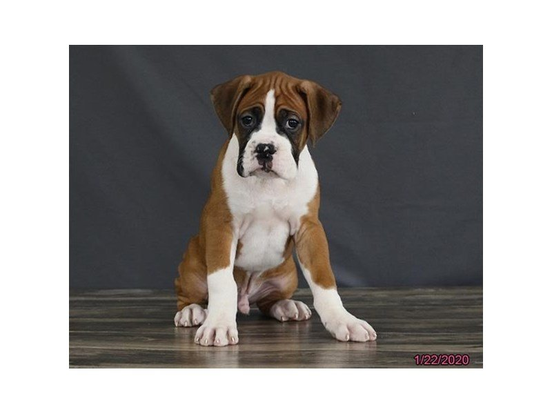 Boxer-Male-Fawn / White-2603625-Petland Carriage Place