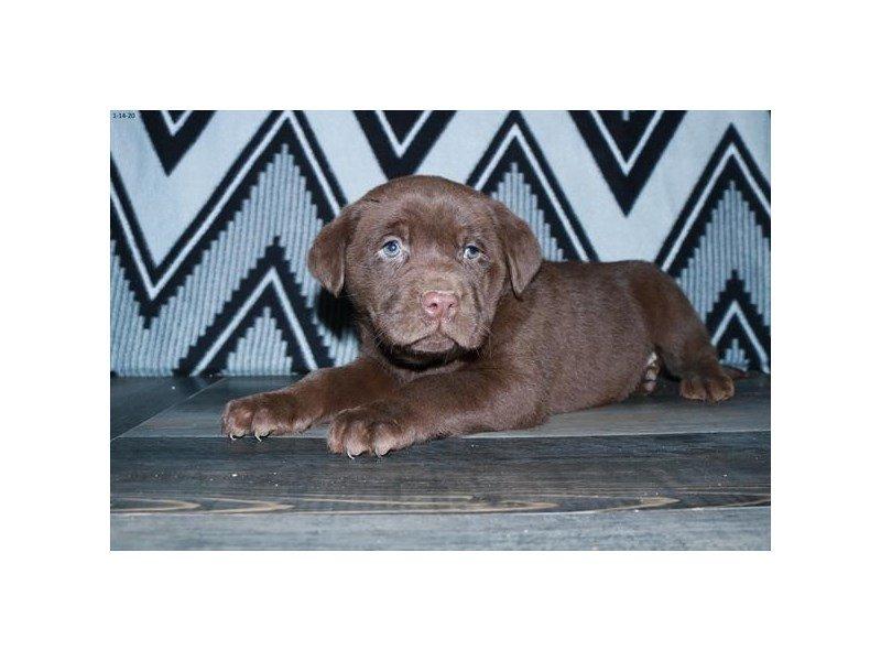 Labrador Retriever-Male-Chocolate-2603718-Petland Carriage Place