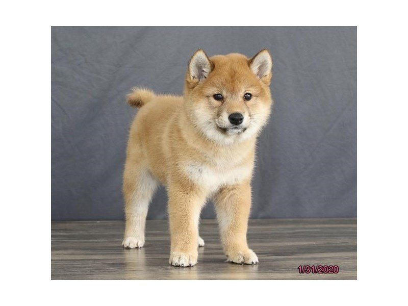 Shiba Inu-Female-Red-2610889-Petland Carriage Place