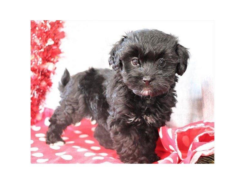 Poodle/Havanese-Female-Black-2610900-Petland Carriage Place