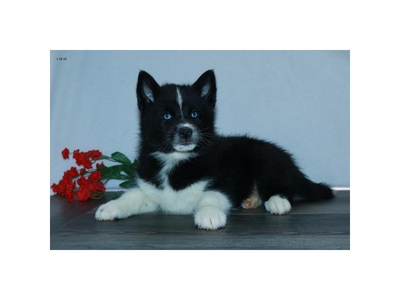 Pomsky-Male-Black / White-2618274-Petland Carriage Place
