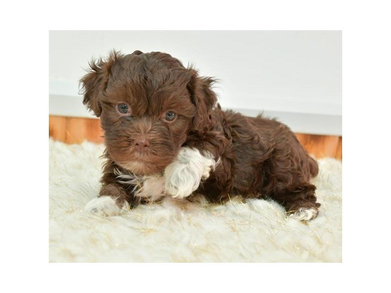 Havanese-Male-Chocolate / White-2618285-Petland Carriage Place