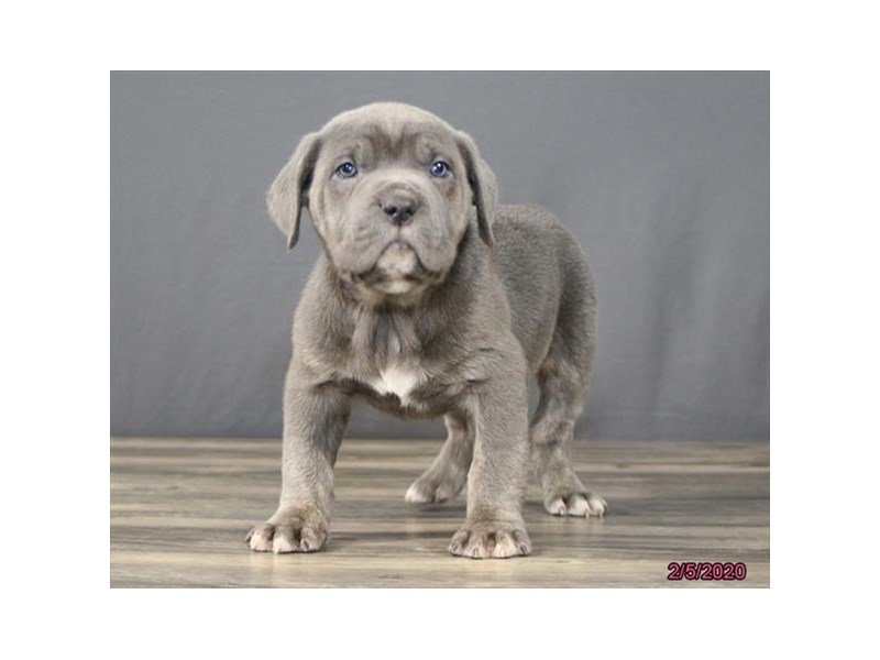 Cane Corso-Male-Blue-2620050-Petland Carriage Place