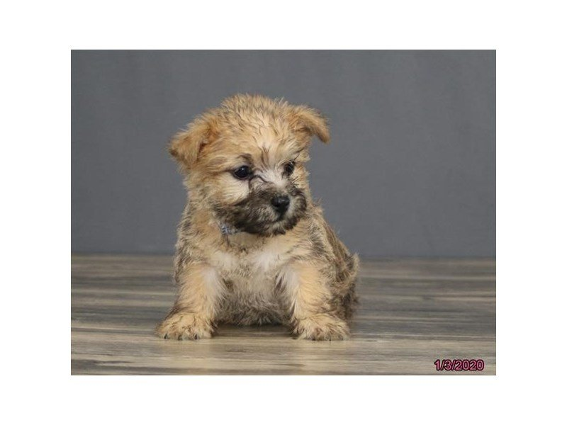 Cairn Terrier-Male-Wheaten-2620052-Petland Carriage Place