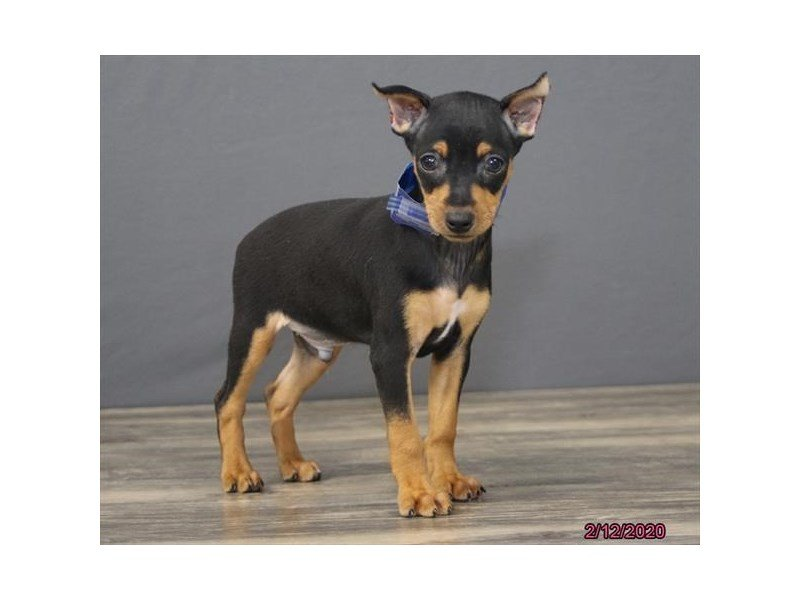 Miniature Pinscher-Male-Black / Tan-2625274-Petland Carriage Place