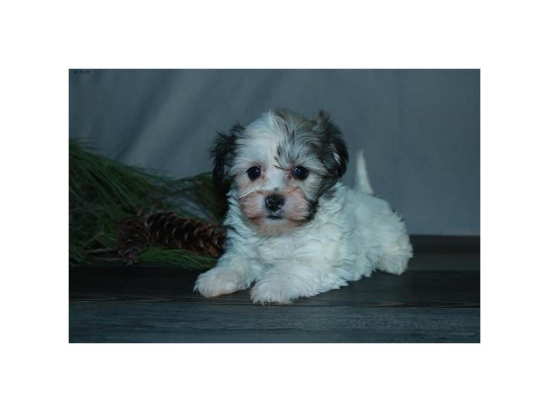 Havanese-Female-Brown / White-2580557-Petland Carriage Place