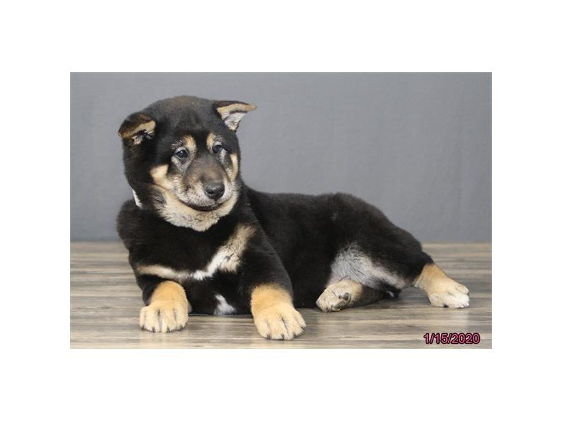 Shiba Inu-Male-Black / Tan-2596309-Petland Carriage Place