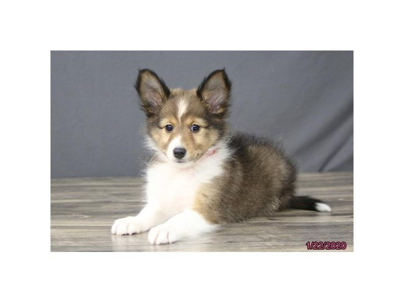 Shetland Sheepdog-Female-Sable / White-2603617-Petland Carriage Place