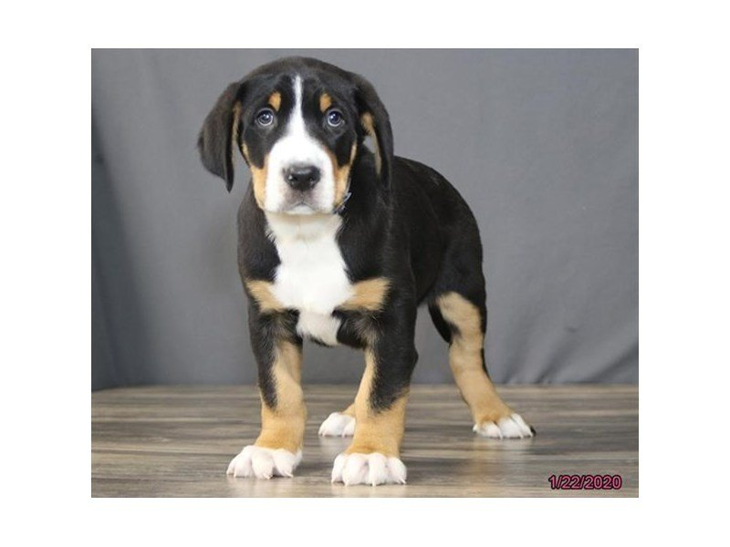 Greater Swiss Mountain Dog-Male-Black, White / Red-2603736-Petland Carriage Place