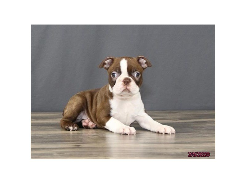 Boston Terrier-Male-Seal / White-2618281-Petland Carriage Place