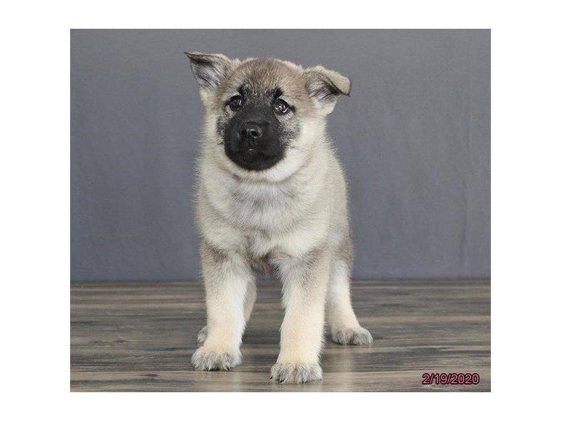 Norwegian Elkhound-Female-Black / Silver-2632508-Petland Carriage Place