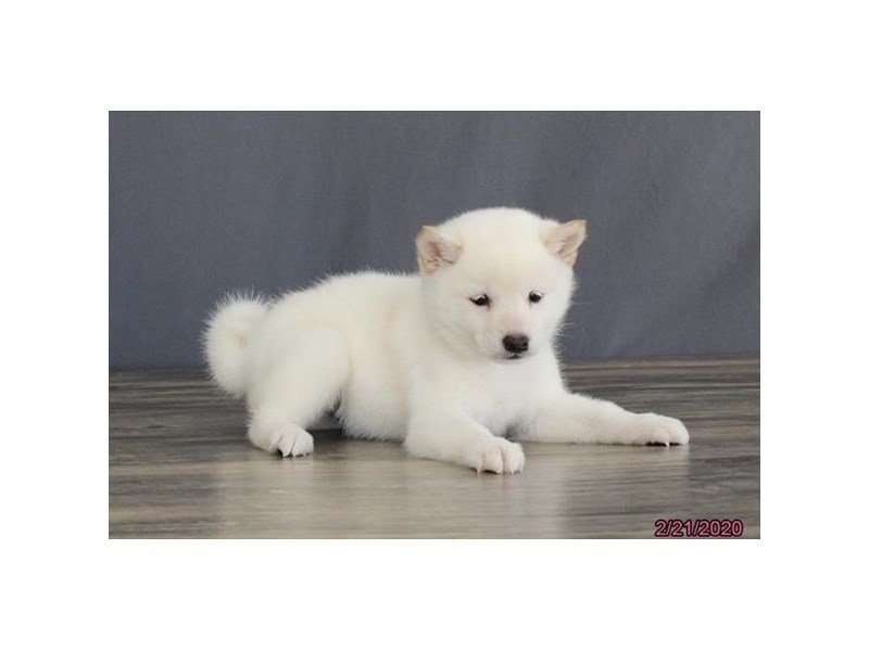Shiba Inu-Female-Cream-2632509-Petland Carriage Place