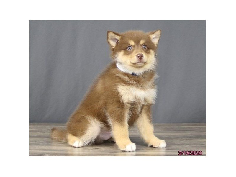 Pomsky-Male-Chocolate / Tan-2632514-Petland Carriage Place