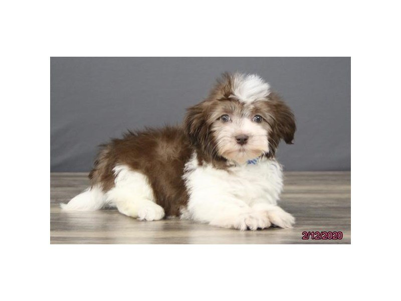 Havanese-Male-Chocolate / White-2632520-Petland Carriage Place