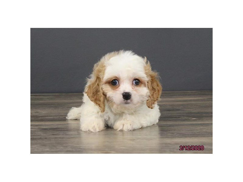 Cavachon-Male-White / Blenheim-2639972-Petland Carriage Place