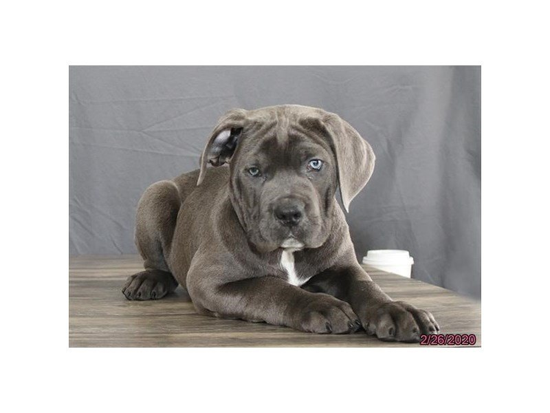 Cane Corso-Male-Blue-2639975-Petland Carriage Place