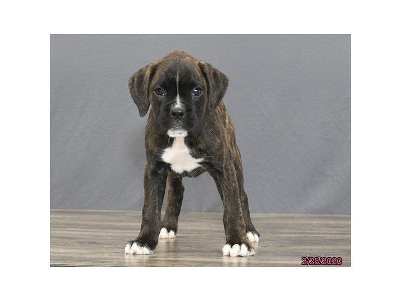 Boxer-Male-Brindle-2639981-Petland Carriage Place
