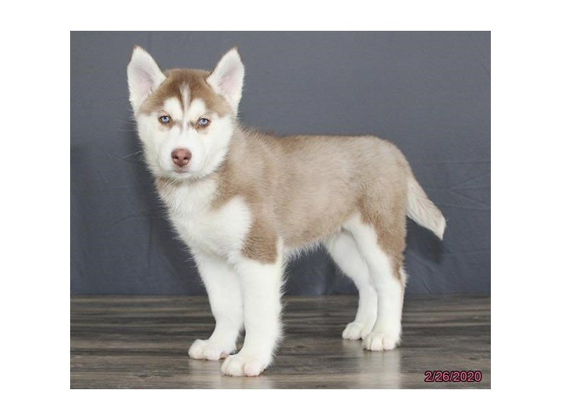 Siberian Husky-Male-Red / White-2639991-Petland Carriage Place
