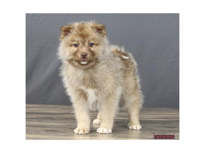Pomsky-Male-Chocolate-2639995-Petland Carriage Place